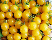 TOMATO 'Yellow Current' 15+ seeds tiny fruit sweet vegetable garden cherry mini