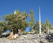 Pinus longaeva GREAT BASIN BRISTLECONE PINE TREE Seeds!