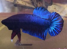 Betta Fish Plakat Super Fish 1.8 Gram Thai