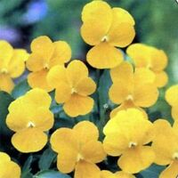 Pansy (Viola Wittrockiana Clear Crystals Yellow) - 50 Seeds