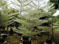Terminalia ivorensis 10 Seeds Black Afara Tree #Ornamental