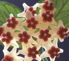 Hoya POLYNEURA Collection No 25 The Fishtail Hoya flower plant in 80mm pot