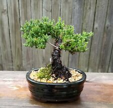 Juniper Procumbens Bonsai tree Trained with wire 6 inch black glazed oval pot
