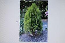 50 Samen Thuja occidentalis,Lebensbaum#367