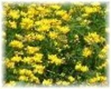 1 lb Birdsfoot Trefoil Seeds Perennial Forage Legume Deer Plot Seed Turkey