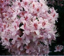 25+ RHODODENDRUN ROSEBAY SEEDS / FLOWERS, SHRUBS, TREES / SHADE LOVING PERENNIAL
