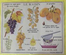 Ancienne Cartexpo Affiche Scolaire  Le Raisin Rafle Muscat Blanc Grappe