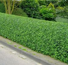 50 Wild Privet Ligustrum Vulgare 2-3ft Plants 60-90cm Evergreen Hedging