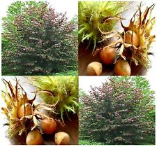 (5) Turkish Filbert, Turkish Hazelnut - Corylus colurna Tree Seeds - Comb. S&H