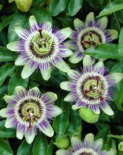 Large 3FT Passiflora Caerula Passion Flower Semi Evergreen Climber Shrub