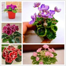 200 Pcs Seeds Mix Color Plants African Garden Flowers Herb Matthiola Incana New