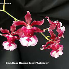 "Oncidium Heaven Scent 'Rainbow' Oncidium Type Orchid Plant in 2.5"" Pot"