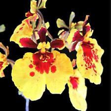 Tolumnia Jairak Firm 'Goldmine', orchid plant