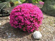 Zwergazalee Königstein 15-20cm Rhododendron obtusum Frühlingsblüher