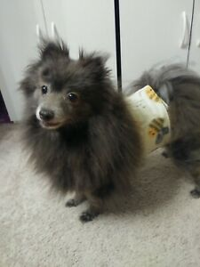 """""""Cumber-Blunder"""" Belly Band for Male Dogs - Bumble Bees - M/L"""