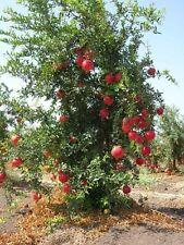 Granatapfel 25 Samen >>Seine Vitamine fördern die Sex-Lust<<