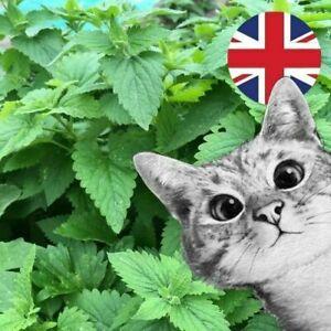 Cat Grass CATNIP Treat seeds indoor pots windowsills CATS LOVE THESE PLANTS