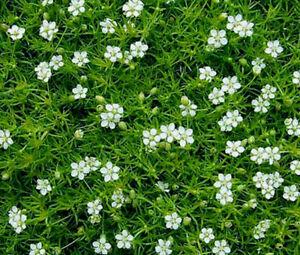 Sagina subulata Pearlwort Iris moss 300 seeds