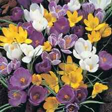 """100 X """"MIXED CROCUS"""" SPRING FLOWERING CORMS/BULBS SIZE 6/7. EARLY ORDER."""