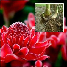 "Red Torch Ginger Flowers Plant,1 Live Rhizome, ""Dang Siri"" Etlingera elatior"