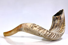 """Ram Shofar Horn Kosher Half Polished 19""""-21"""" Judaica"""