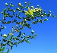 Creosote Bush (Larrea tridentata) 50+ seeds - 2017 New Fresh - Bonzai potential