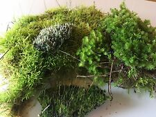 Moss Pack 5 varieties SMALL Picked Fresh, Terrarium, Lizard, Frog, fairy garden.
