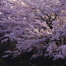 15 Semillas de Flor de Cerezo Purpura (Purple Cherry Blossoms tree Seeds)