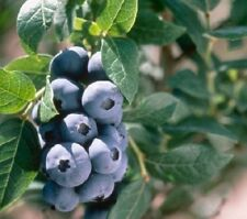 Vaccinium Corymbosum Blueberry Chandler Edible Garden Fruit Shrub Plant 2L Pot