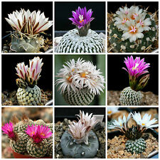100 seeds of Turbinicarpus mix cacti mix, succulents seeds mix R