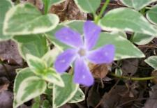 Periwinkle Variegated Vinca Major Groundcover Baskets 10 Plants Evergreen