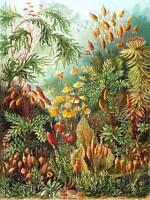 72nd Plate Ernst Haeckel Kunstformen Der Natur Muscinae Canvas Print