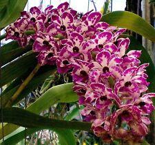 "2 Rhynchostylis gigantea Plai White-Purple spot orchid flower size x 1"" pot"