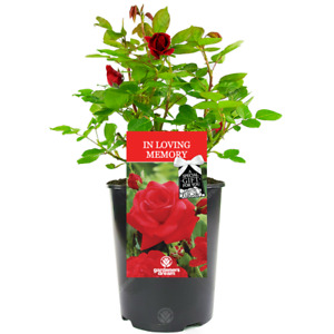 In Loving Memory Rose - Memorial Gift - Live Rose Bush Plant