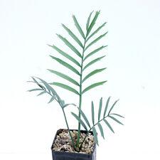 Encephalartos lehmannii 2,5cm Caudex !!!!!!!!!!!!!!!!!!!!!!