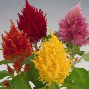 Cockscomb - Celosia Glorious Mix - 50 seeds