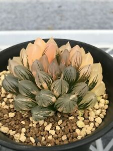 Succulent - Haworthia 'black obtusa' variegated offset