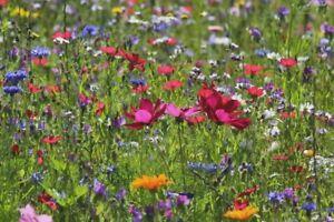 Wildblumen*Wiese Wiesen*Blumen--Sommerblumen--Blumensamen ca 50 qm