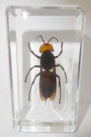 Asian Giant Tiger Hornet (Vespa Mandarinia) Clear - Education Insect Specimen