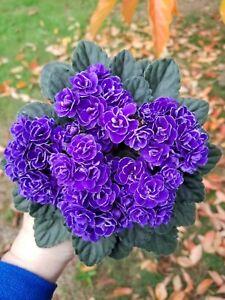 Ness' Crinkle Blue Semi-Miniature African violet Starter Plant