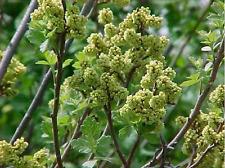 "Rhus aromatica ""konza"" ( 5 seeds/graines )"
