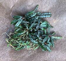 "Live Aquatic Plant | Bucephalandra sp. ""Catherinae"" | 2"" portion"