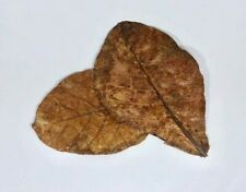 100 Indian Almond Leaves, A+ Catappa Ketapang for Fish, Shrimp, Aquarium