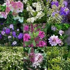 MIXED LOT OF 12 EVERGREEN HEBE PLANTS, WINTER HARDY QUALITY SHRUBS, IN 9 cm POTS
