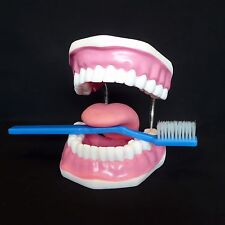 Dentist's Tooth Brushing Model - Dental Hygiene Medical Anatomical Teeth Anatomy