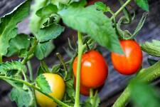 Large Beefsteak Tomato Bush Seeds Here For You!