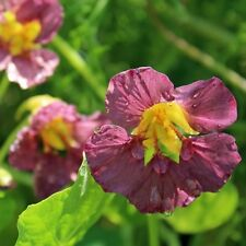 FLOWER NASTURTIUM PURPLE EMPEROR 30 SEEDS  TROPAEOLUM