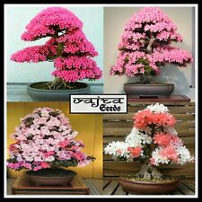 Imported Beautiful Sakura Bonsai Flower Tree Seeds|| 4 COMBO || 20 Seeds Packet