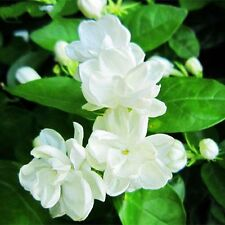 30pcs White Jasmine Flower Seeds Fragrant Arabian Plants Rose Garden Perennial