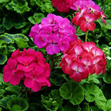 30Pc Colorful Geranium Pelargonium Flower Plant Seeds Bonsai Seeds Garden Decor